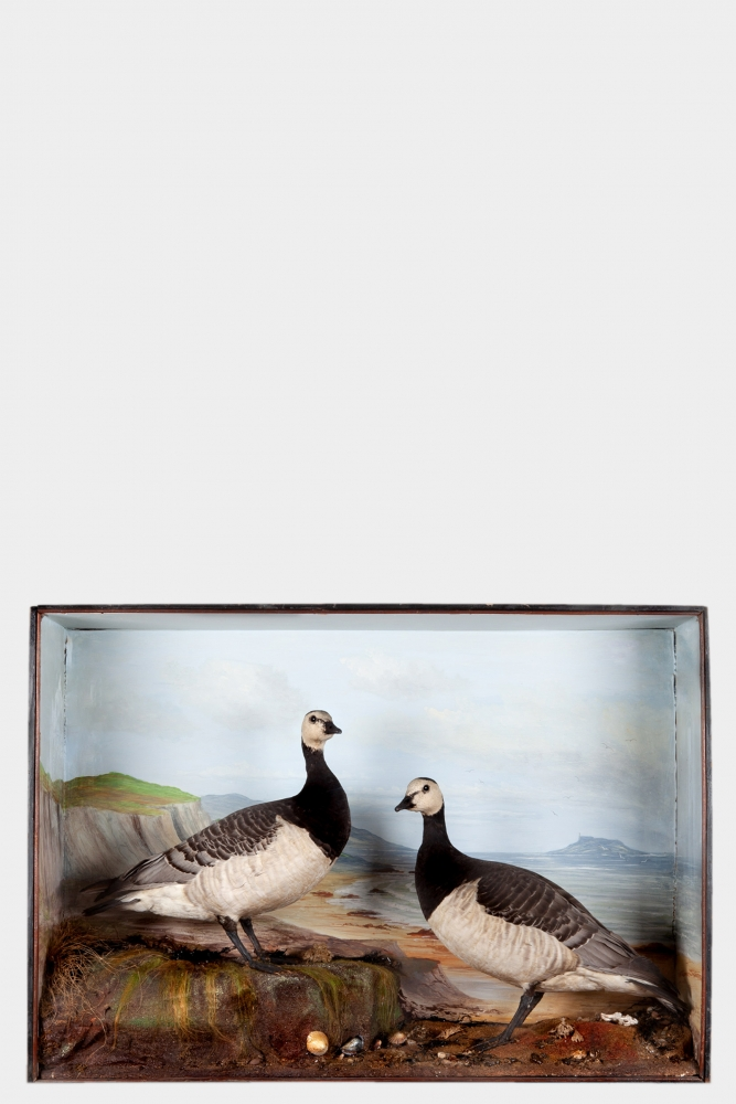 Pair of Taxidermy Barnacle Geese attributed to Cecil  H Bisshopp of Oban